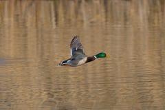 Flying male northern mallard duck anas platyrhynchos over wate Royalty Free Stock Photos