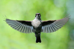 Flying male Pied Flycatcher Stock Photos
