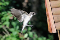 Flying male Pied Flycatcher near the nestling box Stock Photo