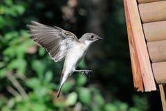 Flying male Pied Flycatcher near the nestling box Stock Photo