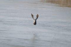 Flying male shoveler duck Royalty Free Stock Photo