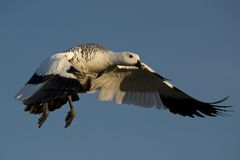 Flying Male Upland Goose Stock Images