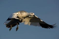 Flying Male Upland Goose. One male upland goose (chloephaga picta) flying in laguna nimez, patagonia, argentina stock images