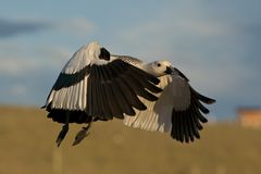 Flying Male Upland Goose Stock Photo
