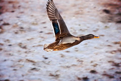 Flying mallard Royalty Free Stock Image
