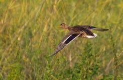 Flying Mallard Royalty Free Stock Photo
