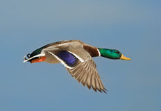 Flying Mallard. Photograph of a drake mallard captured in flight while flying against a blue summer sky Royalty Free Stock Photos