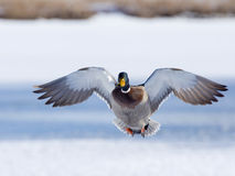 Flying Mallard Royalty Free Stock Photo