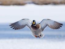 Flying Mallard. Mallard drake approaching in the afternoon sun Royalty Free Stock Photo