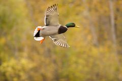 Flying mallard. Mallard duck ready to land Royalty Free Stock Photography