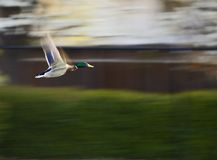Flying Mallard. Against blurred background Stock Photos