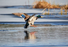 Flying mallard. Mallard (Anas platyrhynchos) flying and landing into icy water at a frozen lake in the spring in Finland Royalty Free Stock Images