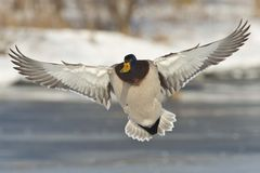 Flying Mallard Drake. A mallard drake against a snow background Royalty Free Stock Images