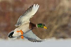 Flying Mallard Drake. A Drake Mallard in full color on a cold winter morning Stock Photography