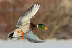 Flying Mallard Drake Stock Photography