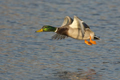 Flying Mallard Drake. A mallard drake flying over a pond Royalty Free Stock Images