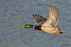 Flying Mallard Drake. A mallard drake flying over a pond Stock Photos