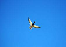 Flying Mallard Duck. A mallard duck flies through the air as he comes in to land Stock Photos