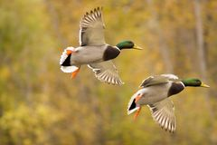 Flying mallard duck. A mallard duck in sequence Stock Photography