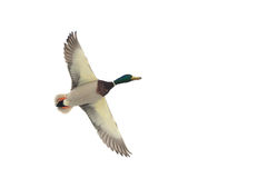A flying mallard duck Royalty Free Stock Photography