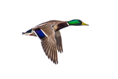 Flying Mallard duck on white. Male Mallard duck Anas platyrhynchos flying on white background with clipping path Stock Photo