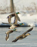 Flying Mallard flock. A flock of Drake Mallards on a cold winter day Stock Photography