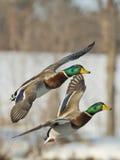 Flying Mallard flock Stock Photo