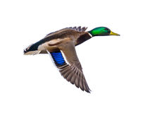 Flying Mallard male duck on white Stock Images