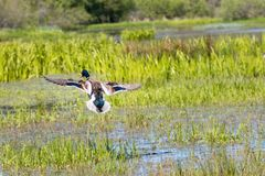 Flying mallard. Mallard flying over wetlands swamp Stock Photos