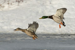 Flying Mallard Pair. A mallard drake pair over a frozen pond Stock Photography