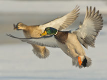 Flying Mallard Pair. A pair of Mallards in full color on a cold winter morning Stock Photos