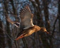 Flying mallard. Mallard, or Wild duck (Anas platyrhynchos, female Stock Photos