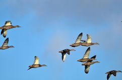flying mallards Royalty Free Stock Image