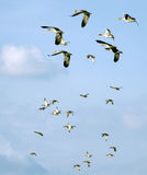Flying flock of mallards in the sky. Wild ducks during autumn migration. Royalty Free Stock Image