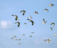 Flying flock of mallards in the sky. Wild ducks during autumn migration. Royalty Free Stock Images