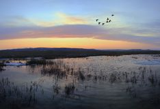 Flying mallards after sunset. At estuary of Razdolnaya(Suifun) river,  3 shots panorama Royalty Free Stock Photography