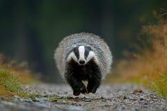 Free Flying Mammal. Badger In Forest, Animal Nature Habitat, Germany, Europe. Wildlife Scene. Wild Badger, Meles Meles, Wood Road. Euro Royalty Free Stock Photography - 104333147