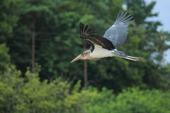 Flying marabou stork Royalty Free Stock Photo