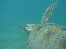 'Flying' marine turtle. Lonely marine turtle, flying and swimming in the clear water. Lagoon of Mayotte, Indian Ocean Royalty Free Stock Photo
