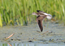 Flying Marsh Sandpiper near nest Stock Photos