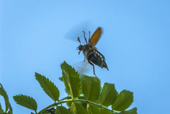 Flying May bug Royalty Free Stock Photos