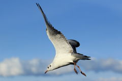 Flying Mediterranean gull Royalty Free Stock Images