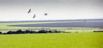 Flying Migrating common cranes Grus grus, over green fields. stock photo