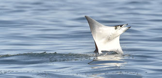 Flying Mobula Ray stock photo