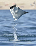 Flying Mobula Ray. Mobula ray jumping out of the water. Mobula munkiana, known as the manta de monk, Munk`s devil ray, pygmy devil ray, smoothtail mobula, is a stock photo