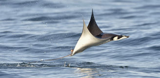 Flying Mobula Ray. Mobula ray jumping out of the water. Mobula munkiana, known as the manta de monk, Munk`s devil ray, pygmy devil ray, smoothtail mobula, is a Royalty Free Stock Images
