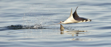 Flying Mobula Ray. Mobula ray jumping out of the water. Mobula munkiana, known as the manta de monk, Munk`s devil ray, pygmy devil ray, smoothtail mobula, is a Royalty Free Stock Photography