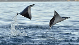 Flying Mobula Ray. Mobula ray jumping out of the water. Mobula munkiana, known as the manta de monk, Munk`s devil ray, pygmy devil ray, smoothtail mobula, is a stock photos