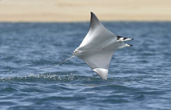 Flying Mobula Ray royalty free stock image