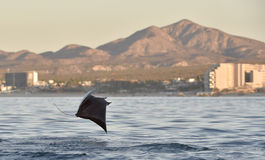Flying Mobula Ray. Mobula ray jumping out of the water. Mobula munkiana, known as the manta de monk, Munk`s devil ray, pygmy devil ray, smoothtail mobula, is a royalty free stock photos